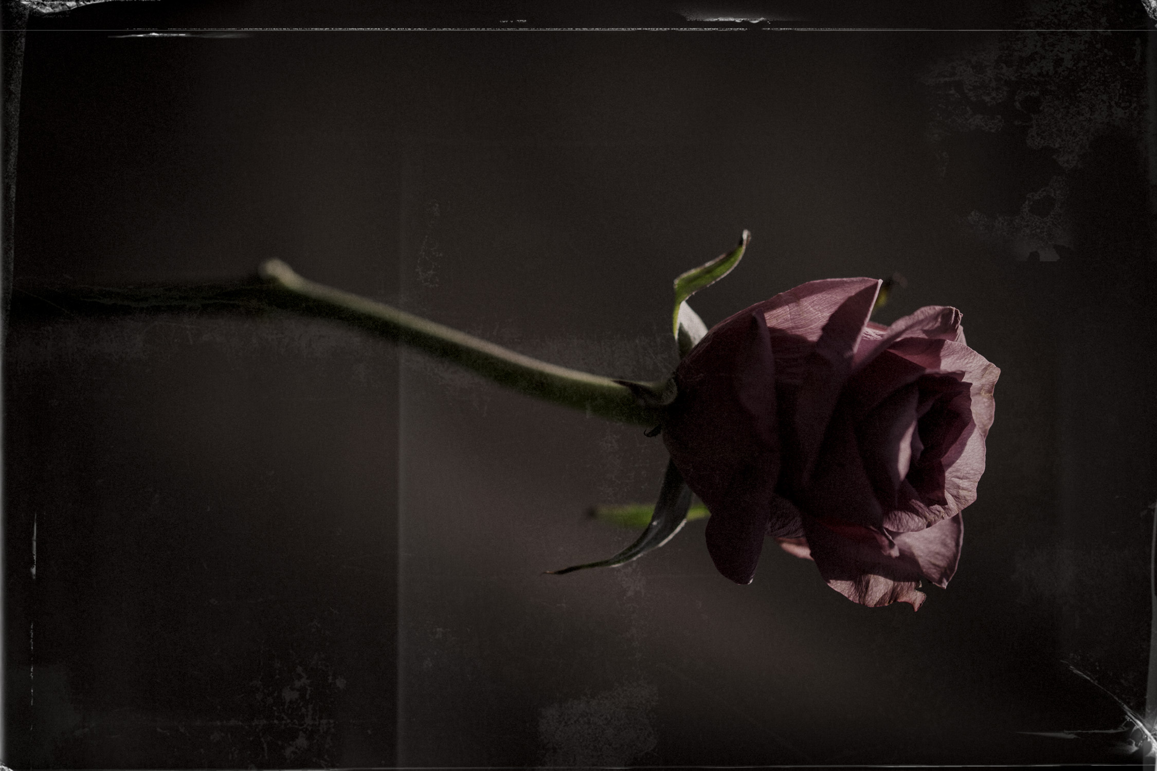 fleur-rose.jpg