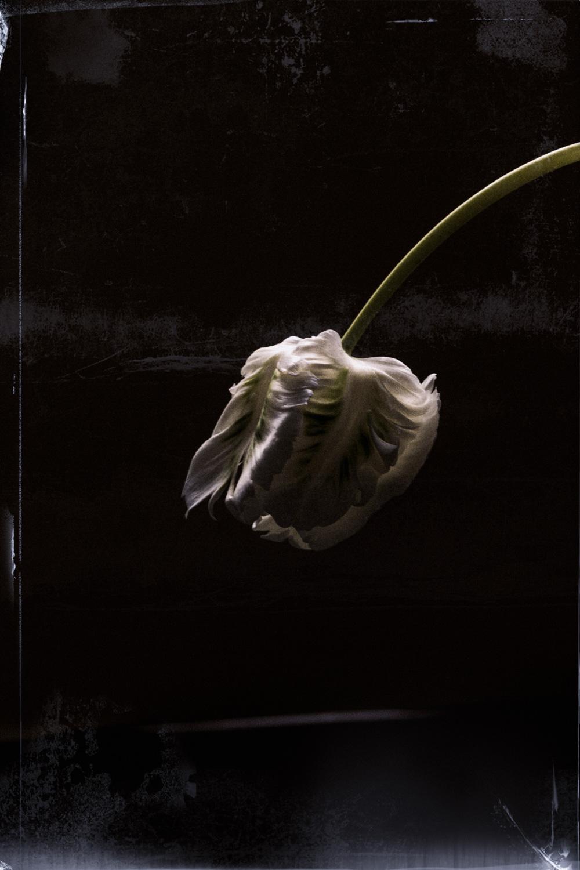 tulipe-blanche