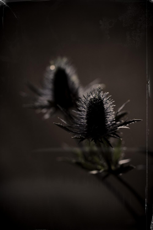 chardon-fleur
