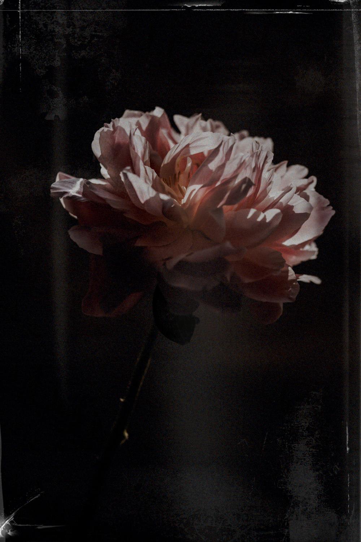 fleur-rononcule